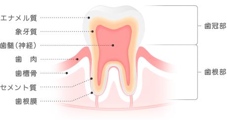 虫歯治療 歯の構造